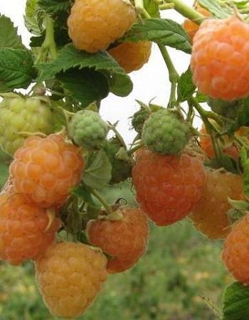 Малина ремонтантная Золотые купола (Rubus idaeus) 1 шт ОКС