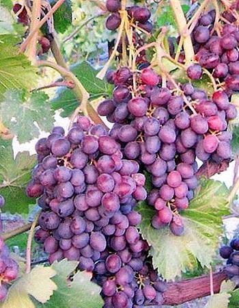 Виноград плодовый Аметистовый 1 шт ЗКС р9