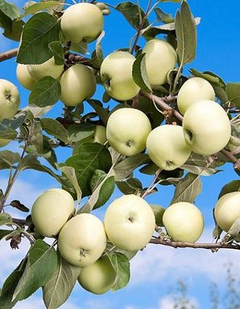 Яблоня Белый налив 1 шт ОКС