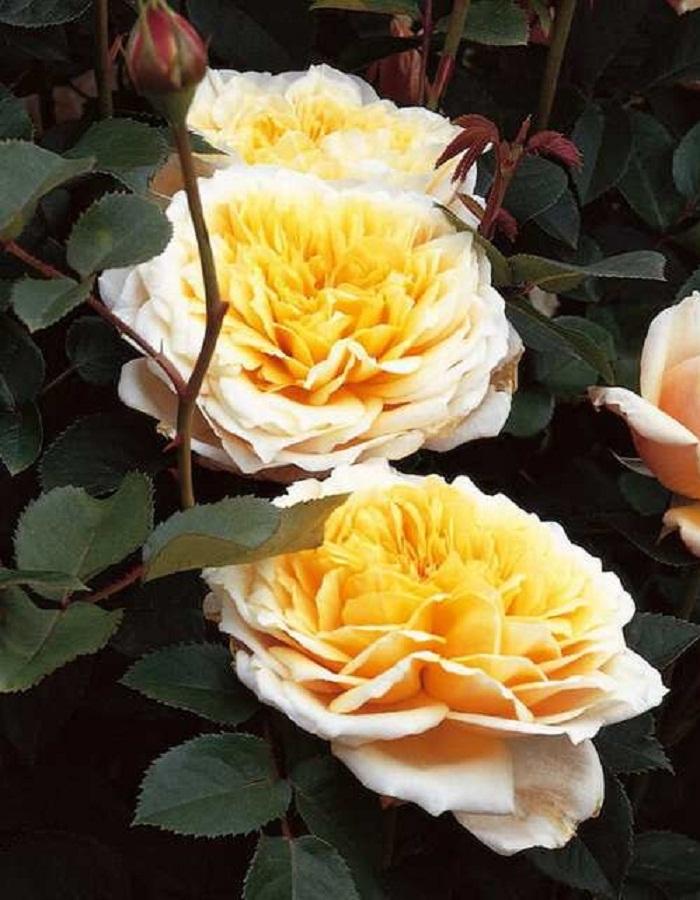 Роза кустовая Энглиш Гарден 1 шт. ОКС