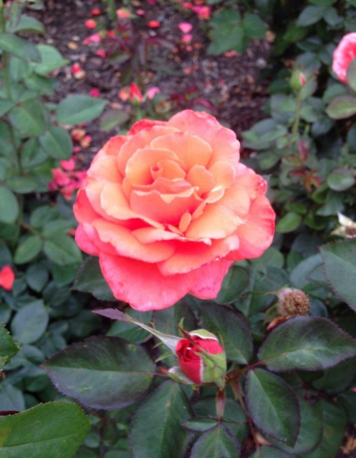 Роза флорибунда Пиз Арей 1 шт ОКС