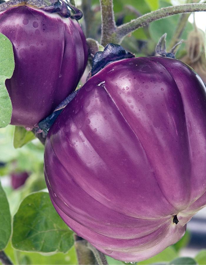Баклажан Виолетта ди Фиренце (УД) 20 шт. цв.п