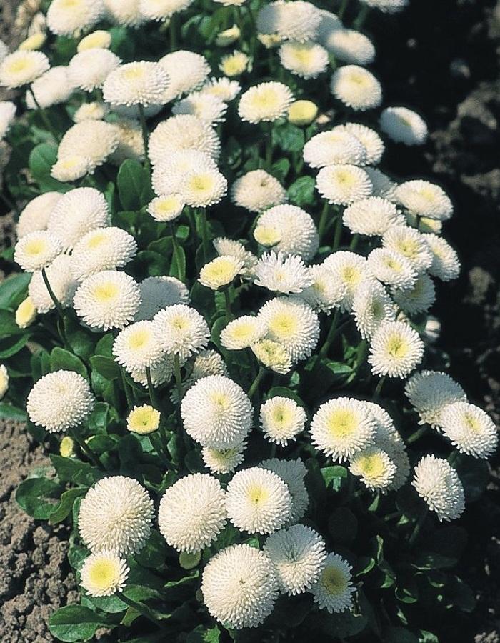 Маргаритка Весна заснеженная  0,3 гр