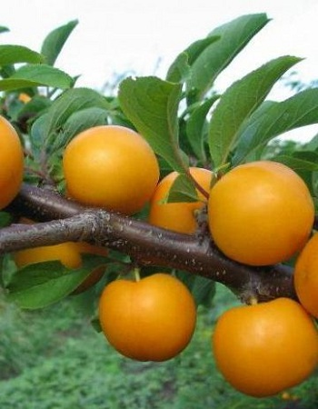 Алыча Мара ( Prunus  Mara ) 1 шт ОКС