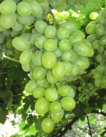Виноград плодовый НПЗ ( Новый Подарок Запорожья) 1 шт ЗКС р9