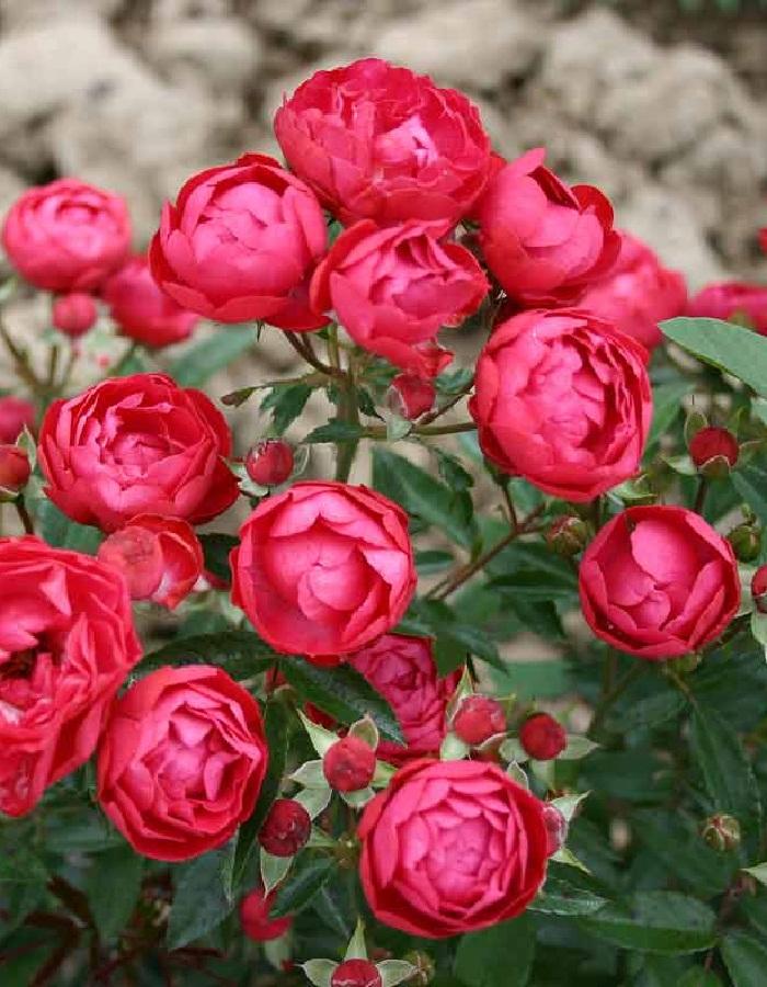 Роза почвопокровная Ред Морсдаг 1 шт ОКС