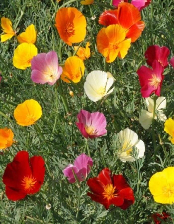Эшшольция Вальс цветов 0,4 гр