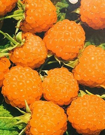 Малина Желтый гигант (Rubus idaeus) 1 шт ОКС