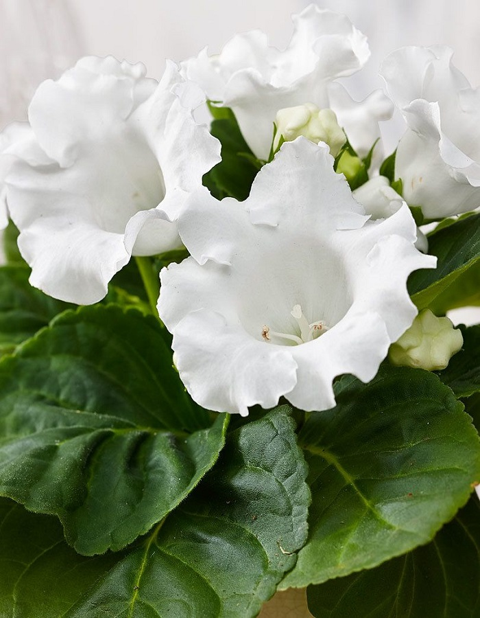 Глоксиния Императрица белая - гибридная F1 (УД) цв.п  5 шт