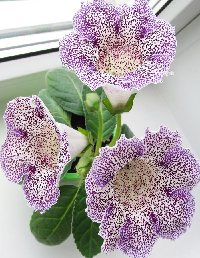 Глоксиния Императрица пурпурный леопард цв/п  5 шт