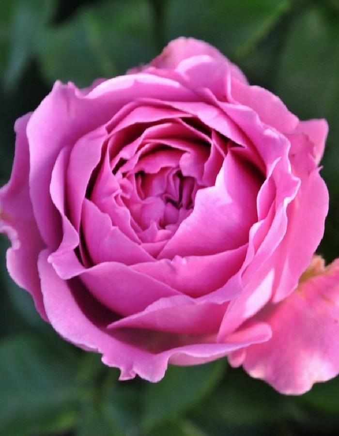 Роза флорибунда Латин Бабблз 1 шт ОКС