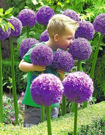 Лук беловолосистый (Лук альбопилосум) Галакси (Allium albopilosum C.H.W) 1 уп. ( 5шт.) фракция 12/14