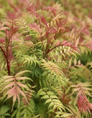 Рябинник рябинолистный Сэм (Sorbaria sorbifolia) 1 шт ЗКС р9
