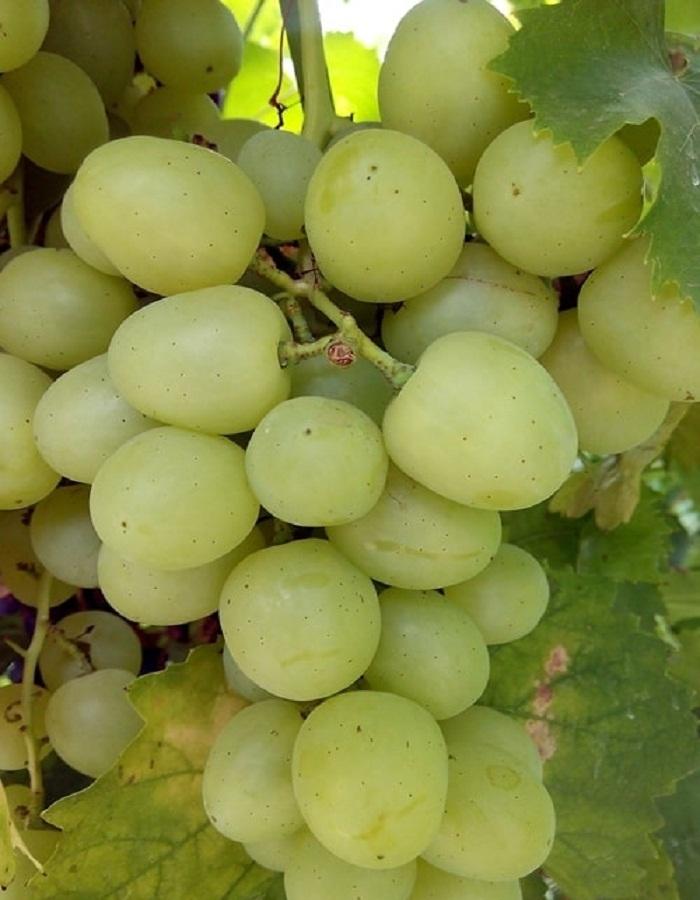 Виноград плодовый Хелена 1 шт ЗКС