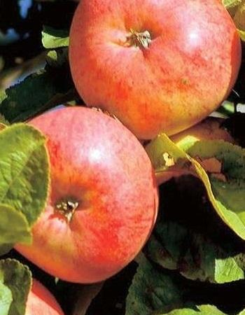 Яблоня Яблочный спас 1 шт ЗКС с2