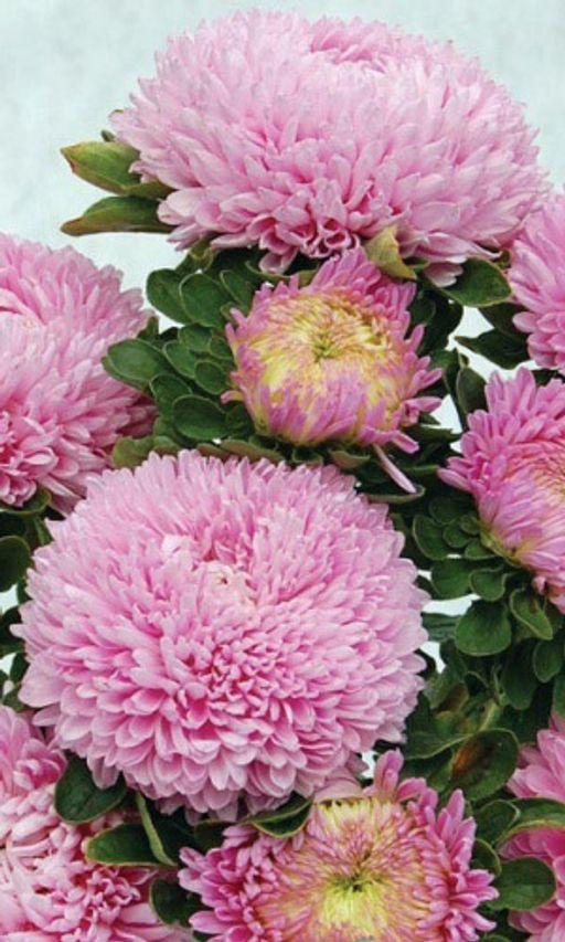 Астра пионовидная Королевский размер розовая 0,2 гр