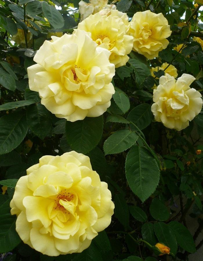 Роза флорибунда Ани Дюпрей 1 шт. ОКС