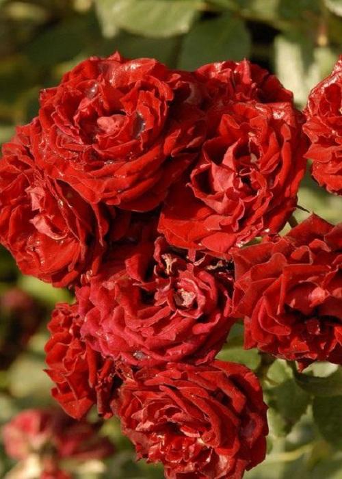 Роза спрей Таманго 1 шт ОКС