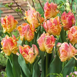 Тюльпаны купить интернет магазин луковицы наложенным платежом