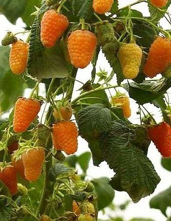 Малина ремонтантная  Оранжевое чудо (Rubus idaeus) 1 шт ОКС
