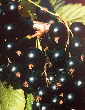 Смородина черная Сокровище (Ribes nigrum) 1 шт ЗКС с2, р9