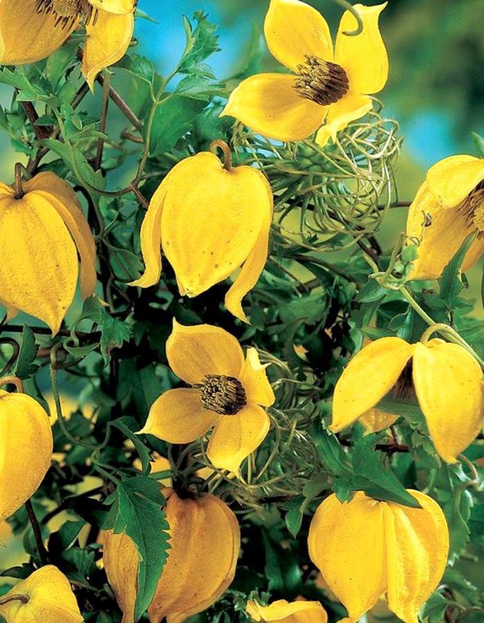 Клематис стангутский - Китайские Фонарики (УД) 12 шт цв.п.