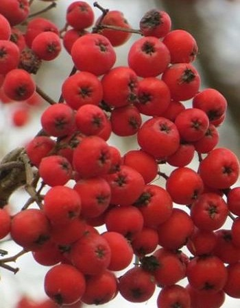 Рябина обыкновенная Рубиновая (Sorbus aucuparia) 1 шт ЗКС