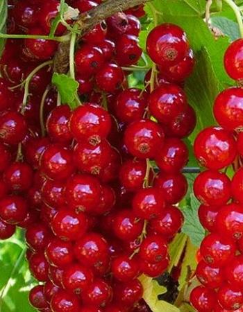 Смородина красная Ненаглядная (Ribes rubrum) 1 шт ЗКС с2
