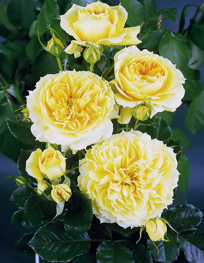 Роза флорибунда Чана Герл 1 шт ОКС