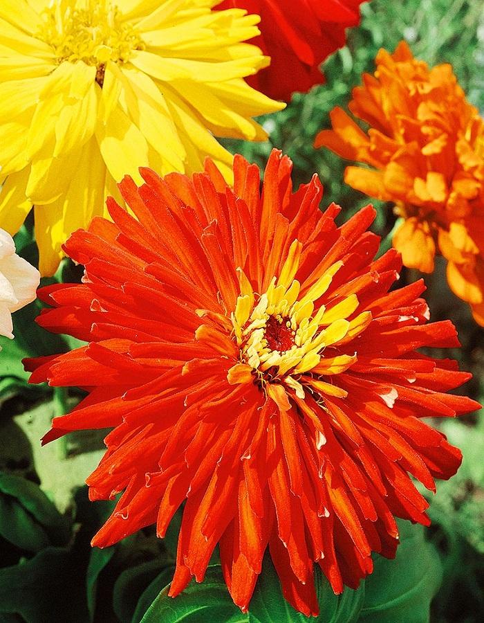Цинния кактусовидная Ацтек 0,5 гр