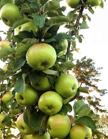 Яблоня Малюха (колонновидная) 1 шт ОКС