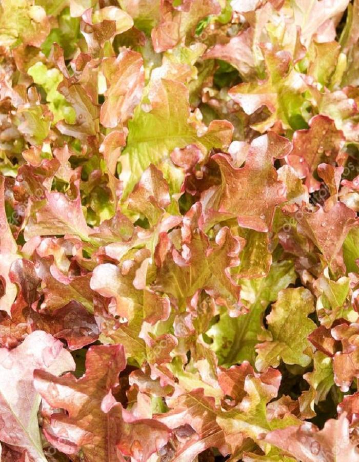 Салат Анапчанин 5 гр цв.п