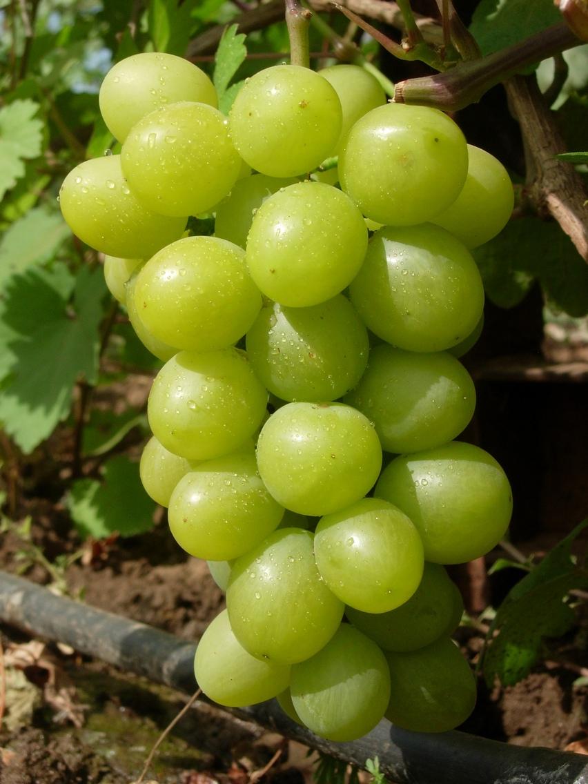 Виноград плодовый Королева Парижа 1 шт ЗКС
