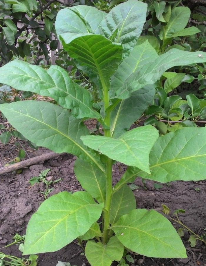 Табак Вирджиния 202 (УД) 0,05 гр