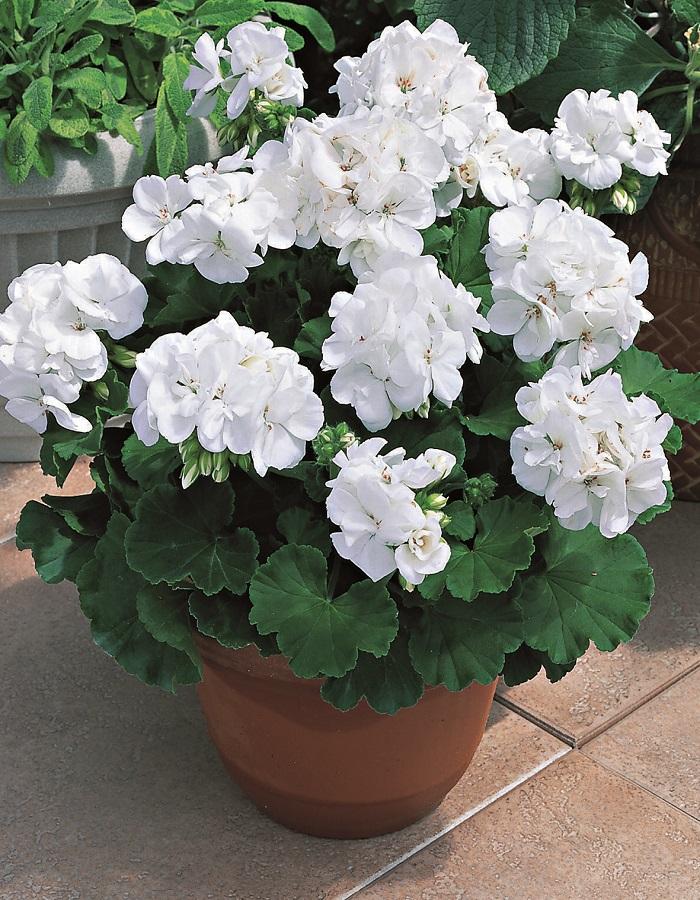 Пеларгония садовая Позитано Белая (Vita Green) 5 шт