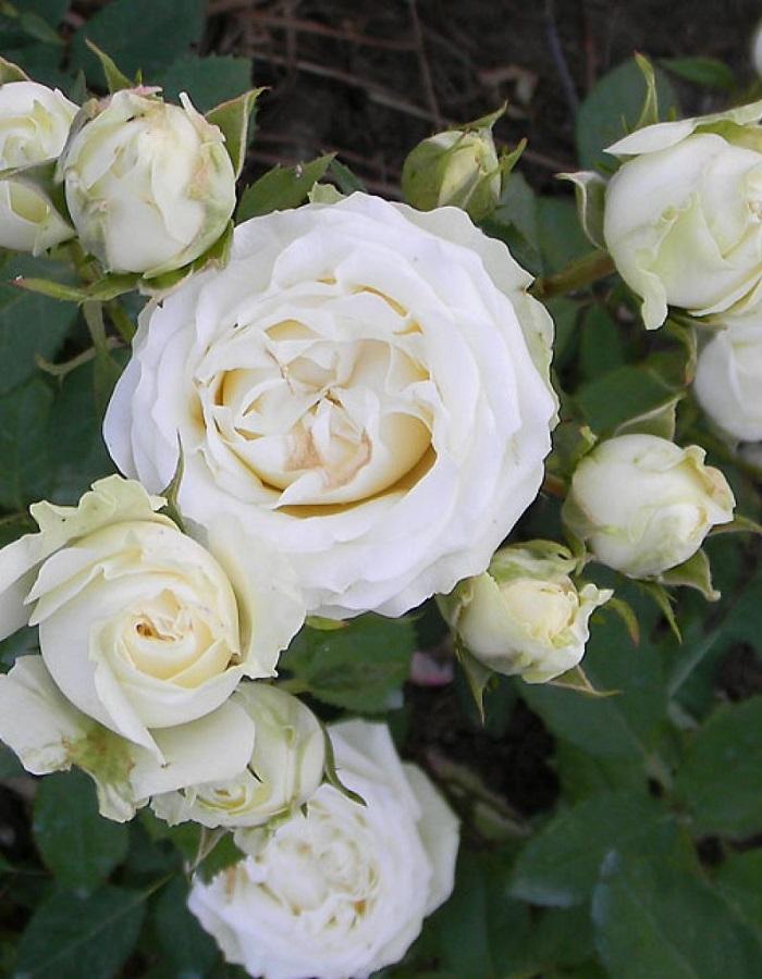 Роза почвопокровная Уайт Морсдаг 1 шт ОКС