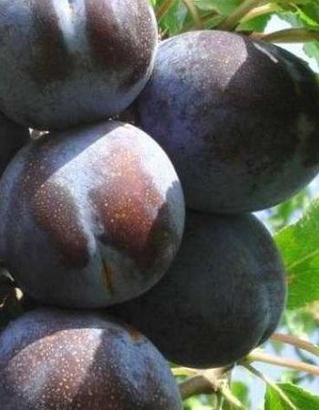 Алыча Шатер  (Prunus cerasifera) 1 шт ОКС