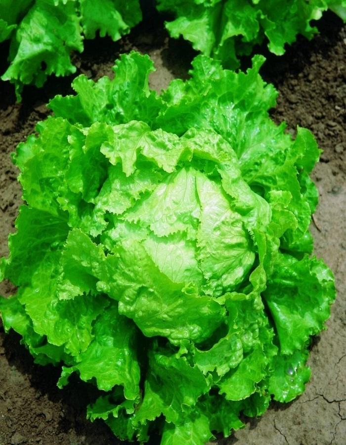 Салат Батавия (УД) 0,25 гр цв.п