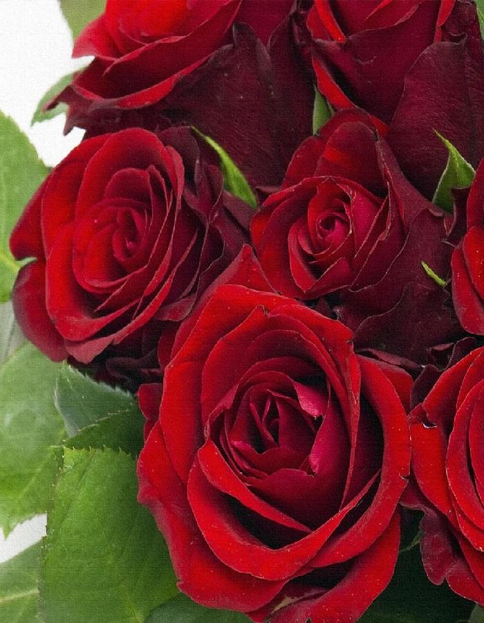 Роза чайно-гибридная Эксплорер 1 шт ОКС