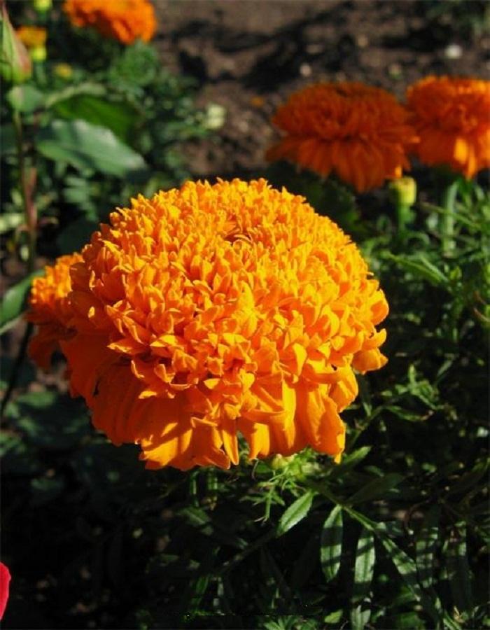 Бархатцы  прямостоячие махровые Купидон оранжевый 0,5 гр