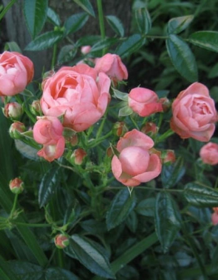 Роза почвопокровная Пинк Морсдаг 1 шт ЗКС