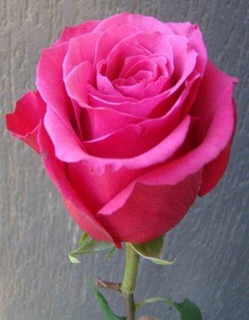 Роза чайно-гибридная Топаз 1 шт ЗКС
