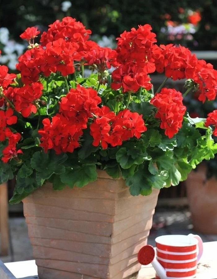 Пеларгония крупноцветковая Венеция Ред F1 5 шт