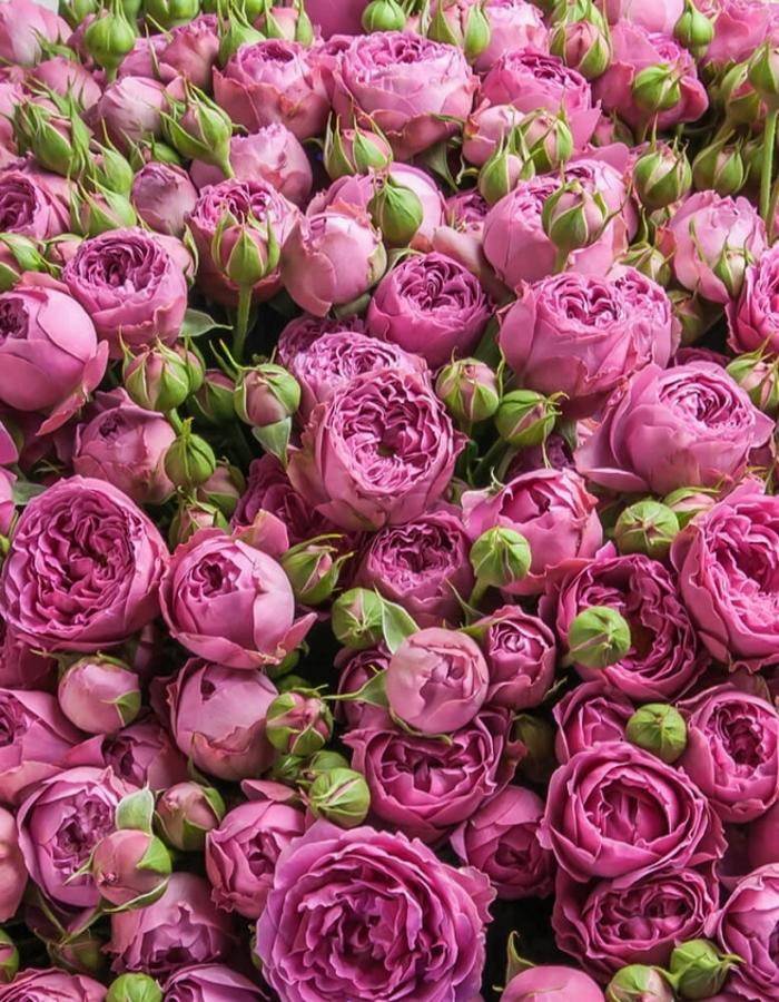 Роза флорибунда Латин Бабблз 1 шт ЗКС
