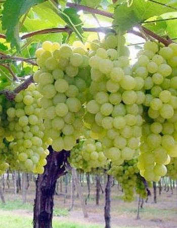 Виноград плодовый (Vitis L.) Супер экстра