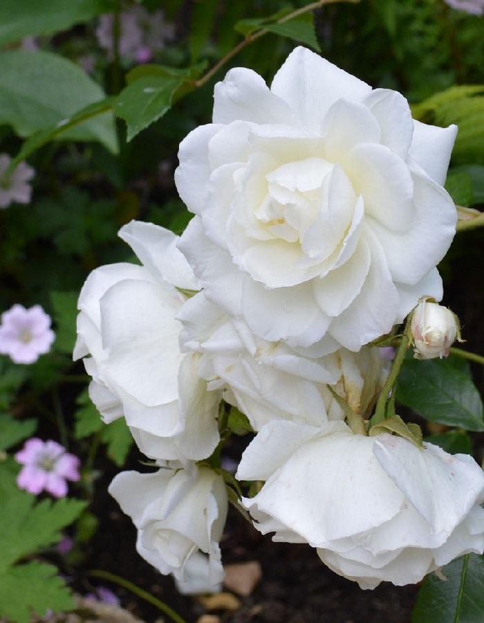 Роза почвопокровная Блан Мейяндекор 1 шт. ОКС