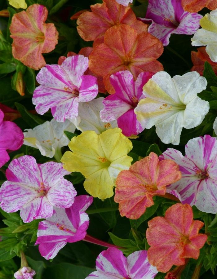 Мирабилис Мраморный цветок 1 гр