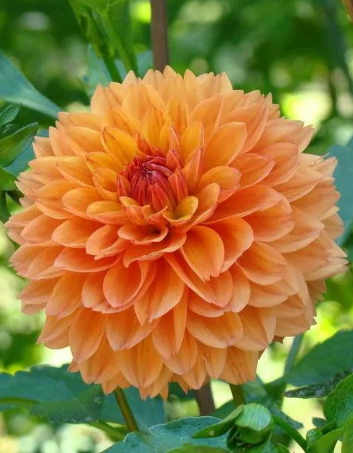 Георгина Фигаро оранжеваяя (Vita Green) 10 шт.