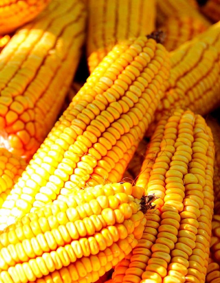 Кукуруза сахарная Лакомка  5гр цв.п.