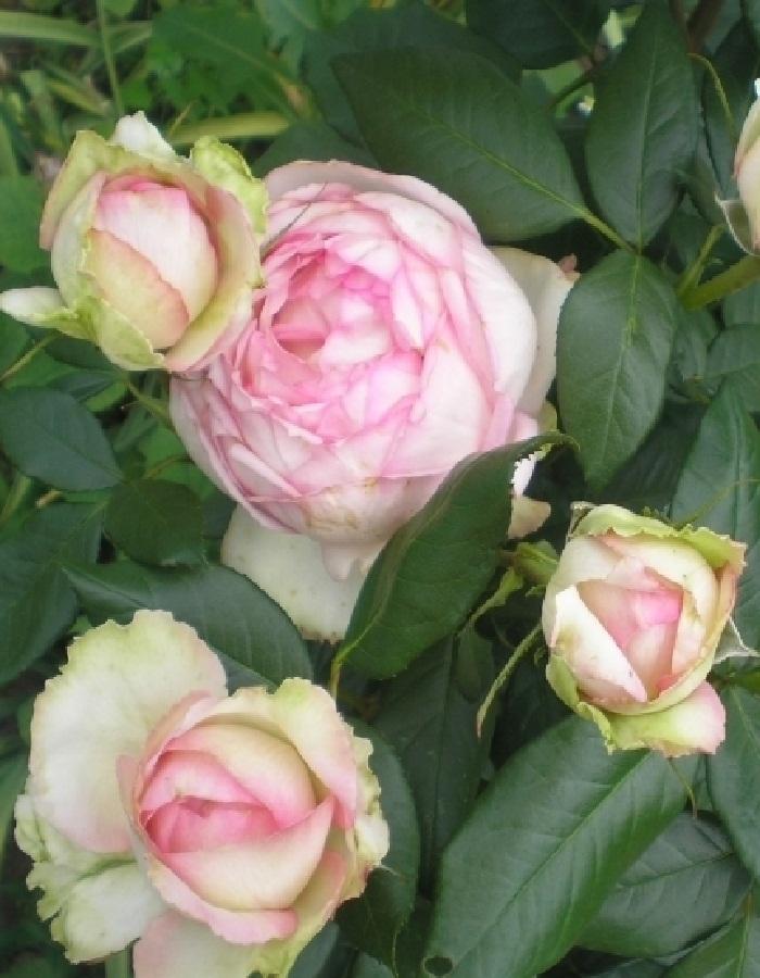 Роза чайно-гибридная Оноре де Бальзак 1 шт ОКС